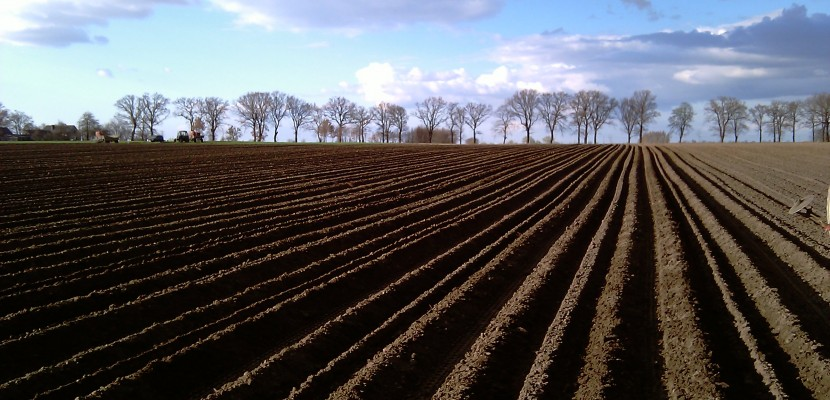 Sadzeniaki ziemniaka - redliny po posadzeniu na wiosnę